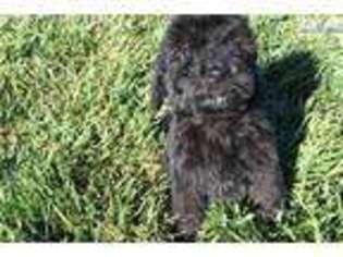 View Ad: Newfoundland Puppy for Sale near Ohio, Cincinnati