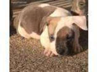 View Ad: American Staffordshire Terrier Puppy for Sale