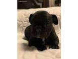 French Bulldog Puppy For Sale near Columbia, SC, USA
