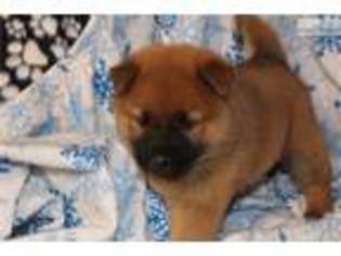View Ad Shiba Inu Puppy For Sale Iowa Des Moines Usa