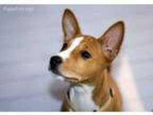 View Ad Basenji Puppy For Sale California Mountain View Usa