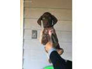 German Shorthaired Pointer Puppy for sale in Duck Hill, MS, USA