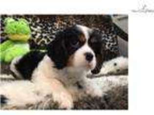 View Ad Cavalier King Charles Spaniel Puppy For Sale Florida West