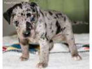View Ad: Catahoula Leopard Dog Puppy for Sale near