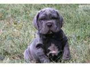 Mastiff Puppies For Sale In Missouri
