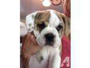 Olde English Bulldogge Puppy For Sale near Keedysville, MD, USA