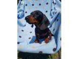 Dachshund Puppy for sale in Louisa, VA, USA