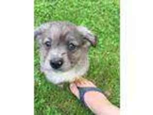 Puppyfinder com: Puppies puppies for sale near me in
