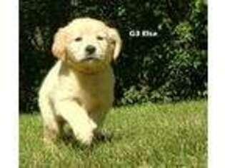 Golden Retriever Puppy for sale in Milford, MI, USA
