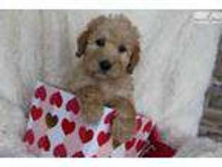 View Ad Labradoodle Puppy For Sale Kentucky Bowling Green Usa