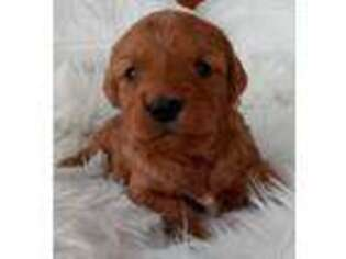 Goldendoodle Puppy for sale in Goshen, IN, USA