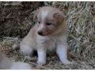 View Ad Border Collie Puppy For Sale California Midpines Usa