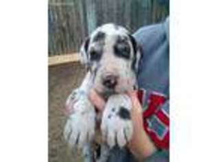 View Ad Great Dane Puppy For Sale Colorado Broomfield Usa