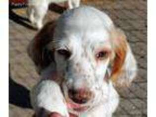 English Setter Puppy for sale in Callaway, VA, USA