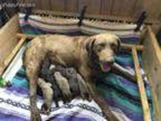 Chesapeake Bay Retriever Puppy for sale in Charlotte Hall, MD, USA
