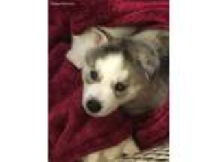 View Ad: Siberian Husky Puppy for Sale, Texas, Texarkana, USA