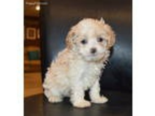 View Ad Cock A Poo Puppy For Sale Near Ohio Celina Usa Adn