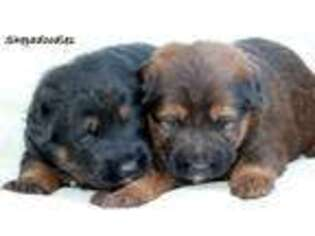Shepadoodle Puppy for sale in Unknown, , USA