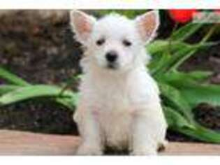 Puppyfinder com: West Highland White Terrier puppies puppies for