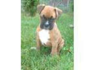 View Ad Boxer Puppy For Sale Massachusetts Worcester Usa