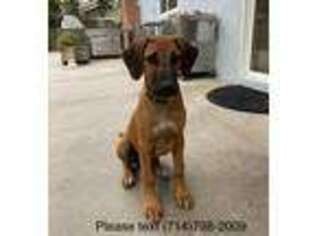 Rhodesian Ridgeback Puppy for sale in Westminster, CA, USA