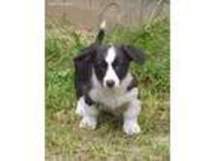 View Ad Cardigan Welsh Corgi Puppy For Sale Florida Homosassa Usa
