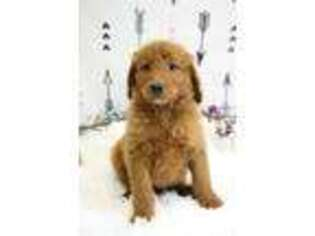View Ad: Goldendoodle Puppy for Sale near Iowa, Luana, USA  ADN