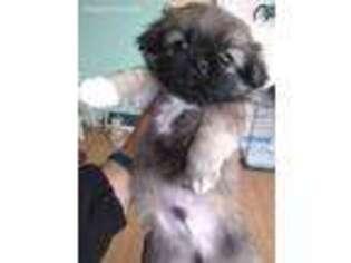 Puppyfinder com: Pekingese puppies puppies for sale near me