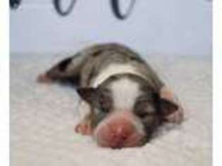 Small Miniature Australian Shepherd