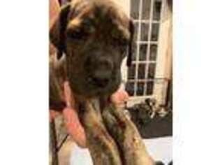 Great Dane Puppy for sale in Hutchinson, KS, USA