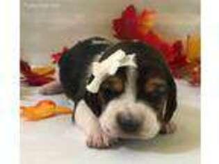 Basset Hound Puppy for sale in Augusta, GA, USA