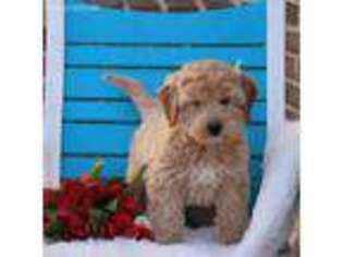 Goldendoodle Puppy for sale in Leola, PA, USA
