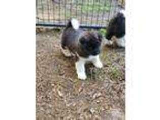 Akita Puppy for sale in Lakebay, WA, USA