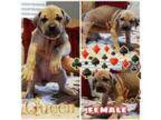 Cane Corso Puppy for sale in Cuero, TX, USA