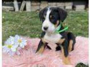 Greater Swiss Mountain Dog Puppy for sale in Dundee, OH, USA