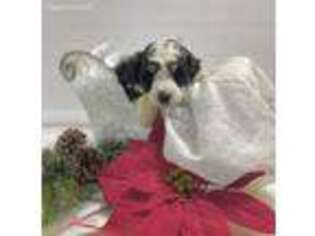 Mutt Puppy for sale in Lagrange, IN, USA