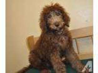 View Ad Labradoodle Puppy For Sale Near Michigan Allendale