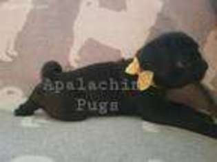 View Ad Pug Puppy For Sale New York Apalachin Usa