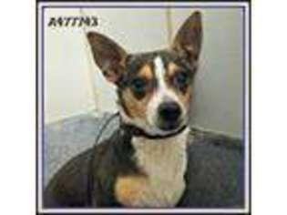 Puppyfinder com: Jack Russell Terrier puppies puppies for