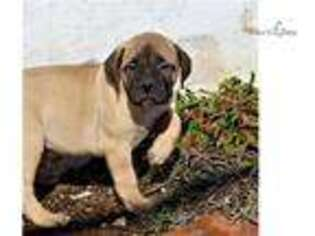 Bullmastiff Puppy for sale in Harrisburg, PA, USA