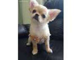 Puppyfinder com: Chihuahua puppies puppies for sale near me in New