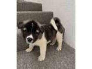 Akita Puppy for sale in Fontana, CA, USA