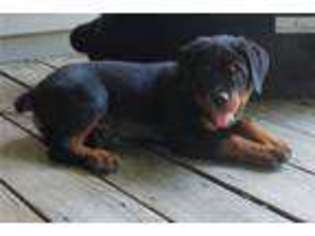 View Ad Rottweiler Puppy For Sale Indiana Lafayette Usa