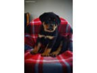 View Ad Rottweiler Puppy For Sale Indiana Wakarusa Usa