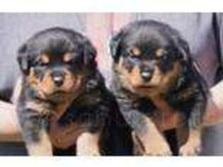 Rottweiler Puppy for sale in Upland, CA, USA