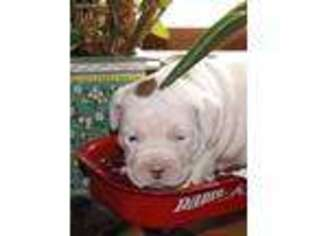 Valley Bulldog Puppy for sale in Barre, MA, USA