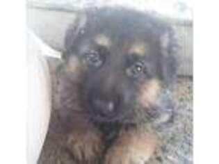 German Shepherd Dog Puppy for sale in University Place, WA, USA