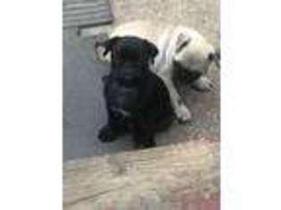 View Ad Pug Puppy For Sale New York Westbury Usa