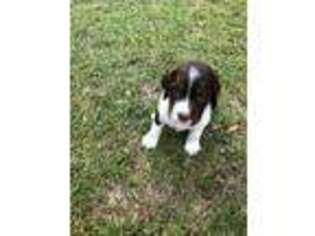 Puppyfinder com: English Springer Spaniel puppies puppies