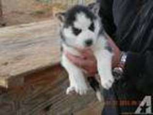 View Ad: Siberian Husky Puppy for Sale, Texas, BROWNFIELD, USA